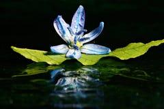 Синь цветет черный макрос предпосылки Стоковые Изображения