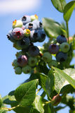 синь ягоды стоковое фото rf