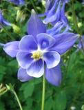 синь aquilegia Стоковые Изображения