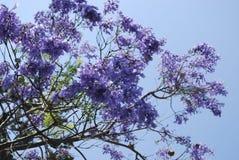 Синь mimosifolia Jacaranda цветет цветение Стоковое Изображение