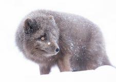 Синь Morph песец стоя в падая снеге Стоковые Изображения