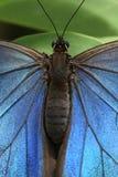 Синь Morpho бабочки Стоковое Изображение