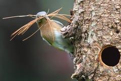 синяя птица восточная Стоковое Изображение RF