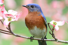 синяя птица восточная Стоковое фото RF