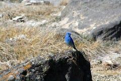 Синяя птица в национальном парке Йеллоустона стоковое изображение
