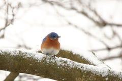 Синяя птица в снеге Стоковая Фотография RF