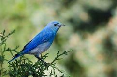 Синяя птица горы садить на насест в дереве Стоковое Изображение RF