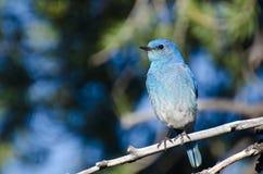 Синяя птица горы садить на насест в дереве Стоковое Фото