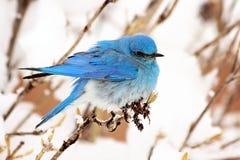 Синяя птица горы стоковая фотография rf