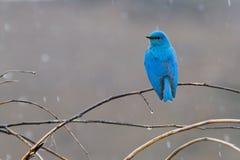 Синяя птица горы Стоковые Изображения RF