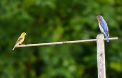Синяя птица и зяблик Стоковые Изображения RF