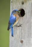 синяя птица принося c восточного мужчины Стоковые Фотографии RF