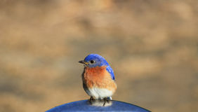 синяя птица стоковые фотографии rf