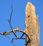 Синяя птица Стоковые Фото
