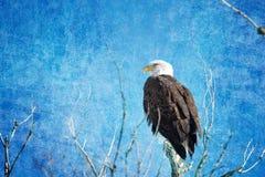 Син белоголового орлана Стоковые Изображения