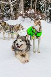 Сиплые собаки имея остатки на лесе зимы стоковая фотография