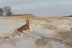 Сиплый щенок играя в снеге стоковая фотография