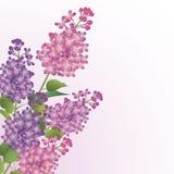 сирень букета цветений бесплатная иллюстрация