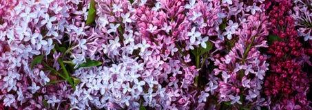 Сирень весны знамени сети цветет на белой деревянной предпосылке Взгляд сверху, плоское положение, космос экземпляра Стоковые Изображения RF