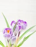 Сирень весны и фиолетовый крокус в цветочном горшке листья зеленого цвета гиацинты зеленого цвета карточки предпосылки выходят ли Стоковое Фото