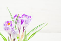 Сирень весны и фиолетовый крокус в цветочном горшке листья зеленого цвета гиацинты зеленого цвета карточки предпосылки выходят ли Стоковое Изображение
