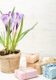 Сирень весны и фиолетовый крокус в цветочном горшке листья зеленого цвета гиацинты зеленого цвета карточки предпосылки выходят ли Стоковая Фотография