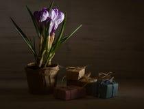 Сирень весны и фиолетовый крокус в цветочном горшке листья зеленого цвета гиацинты зеленого цвета карточки предпосылки выходят ли Стоковое Изображение RF
