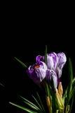 Сирень весны и фиолетовый крокус в цветочном горшке листья зеленого цвета гиацинты зеленого цвета карточки предпосылки выходят ли Стоковое фото RF