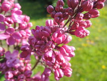 Сирень в раннем утре, так - закрытые цветки Стоковые Фото