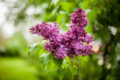Сирень в цветени Стоковое Изображение