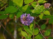 Сирень в цветени Стоковые Фотографии RF