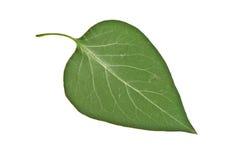 Сирень лист Стоковое Изображение RF