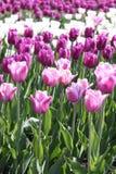 Сирень и белые тюльпаны стоковые фотографии rf