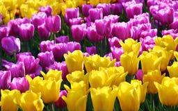 Сирень и желтые тюльпаны Стоковое фото RF