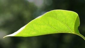 сирень листьев Стоковая Фотография RF