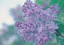 сирень предпосылки красивейшая Пастельные фиолетовые цвета Весна Стоковая Фотография