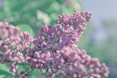 сирень предпосылки красивейшая Пастельные фиолетовые цвета Весна Стоковое Изображение