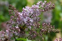 Сирень Сирени, syringa или шприц Красочные фиолетовые цветения сиреней с зелеными листьями желтый цвет картины сердца цветков пад Стоковые Изображения RF