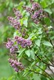 Сирень Сирени, syringa или шприц Красочные фиолетовые цветения сиреней с зелеными листьями желтый цвет картины сердца цветков пад Стоковое Изображение