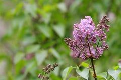 Сирень Сирени, syringa или шприц Красочные фиолетовые цветения сиреней с зелеными листьями желтый цвет картины сердца цветков пад Стоковое фото RF