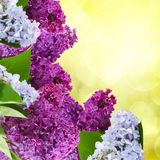Сирень цветет дерево Стоковые Изображения RF
