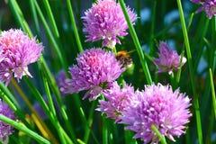 Сирень цветет конец-вверх, шмель на цветке Стоковое Фото