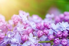 Сирень цветет макрос стоковая фотография