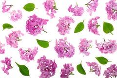 Сирень цветет, разветвляет и листья изолированные на белой предпосылке Плоское положение Взгляд сверху стоковое изображение rf