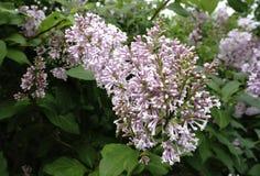 Сирень цветет цветене на ветви в пурпуре стоковые изображения rf