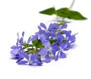сирень цветка Стоковые Изображения RF