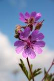 сирень цветка Стоковое Изображение RF