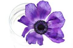 сирень цветка Стоковые Изображения