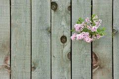 Сирень через загородку Стоковое Изображение