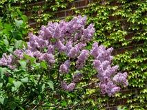 Сирень Thornhill цветет 2017 Стоковые Изображения